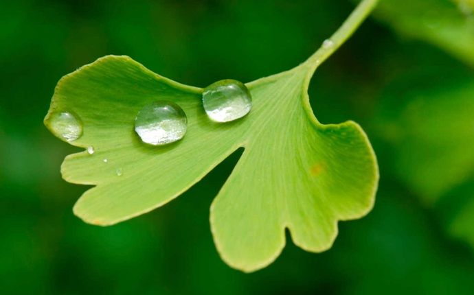 home remedies for wheezing - ginkgo biloba