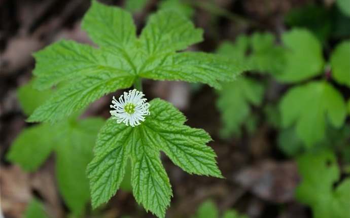how to treat red eyes - goldenseal