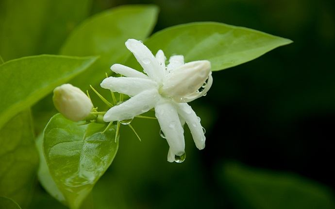 home remedies for chickenpox - jasmine flower