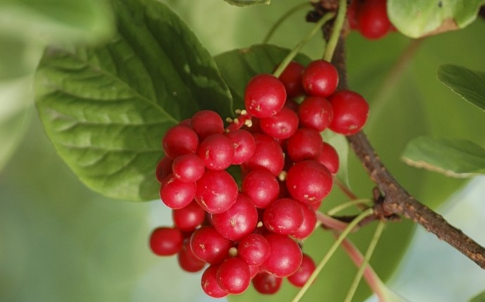 treatment for cirrhosis - schisandra