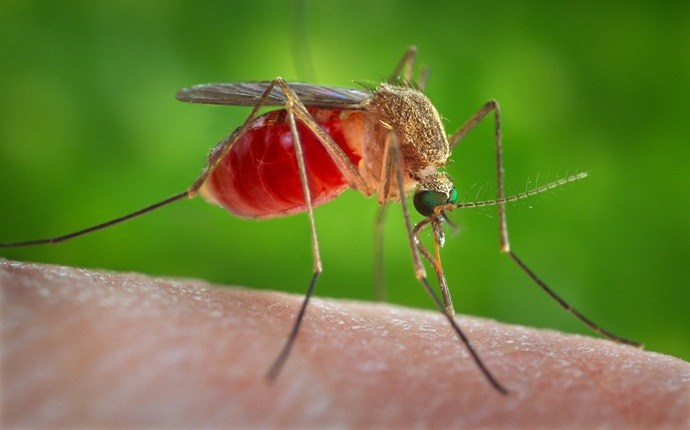 home remedies for malaria - causes of malaria
