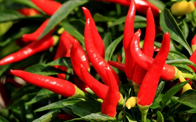 burning mouth syndrome home remedies - cayenne pepper