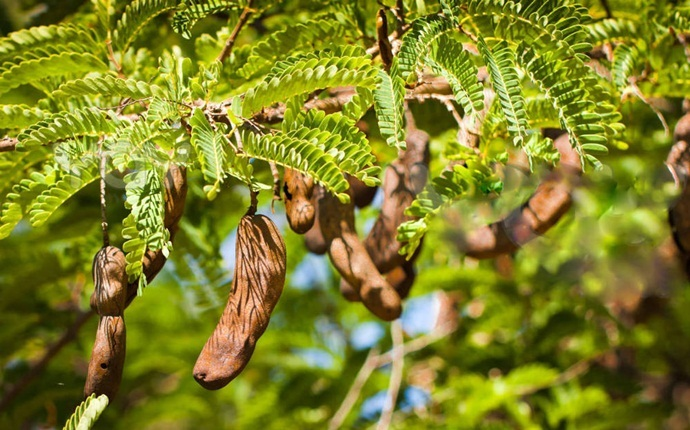 home remedies for malaria - tamarind decoction