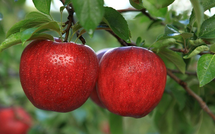 fruits with high water content - apples