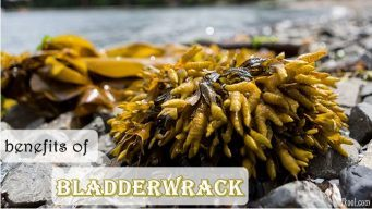 health benefits of bladderwrack