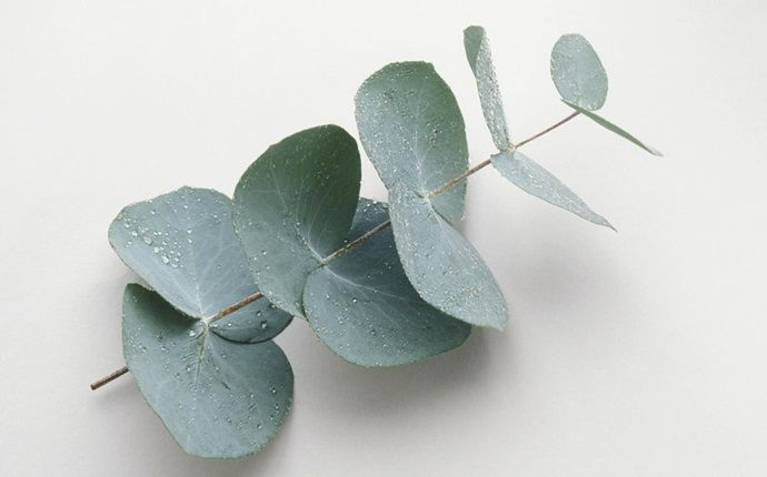 oils for headaches - eucalyptus