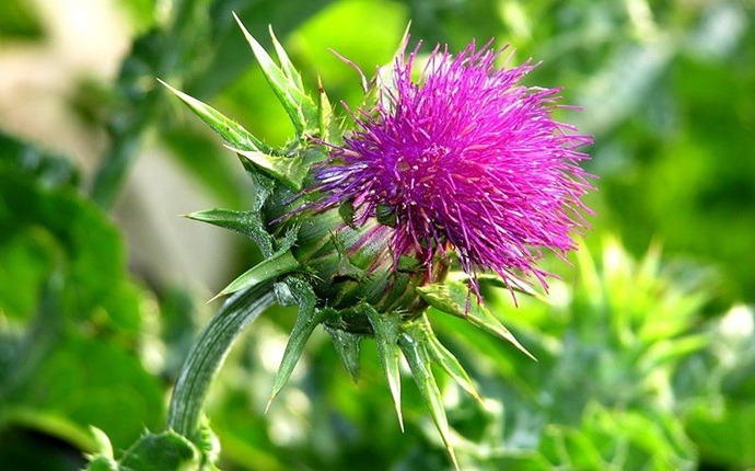 how to lose chest fat - milk thistle