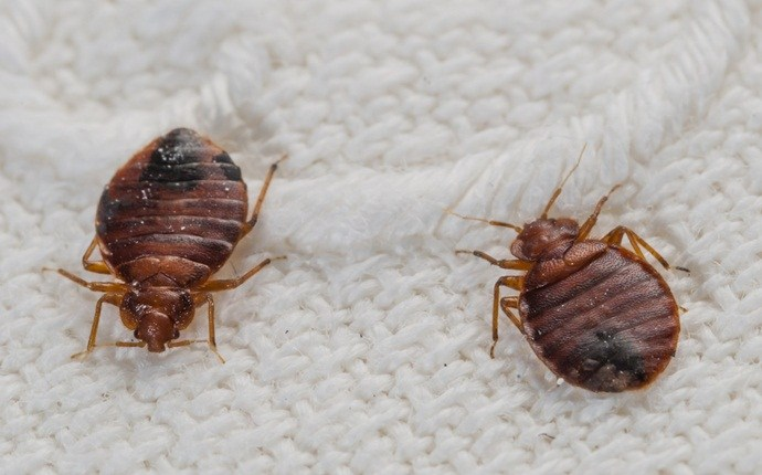 natural treatments to get rid of bed bugs - natural treatments to get rid of bed bugs