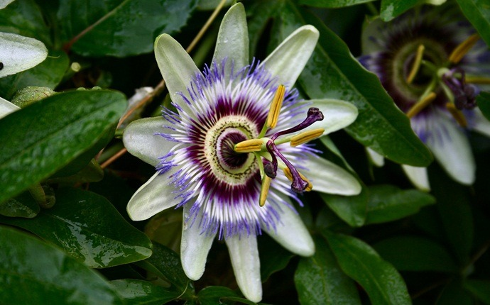 how to lose chest fat - passion flower