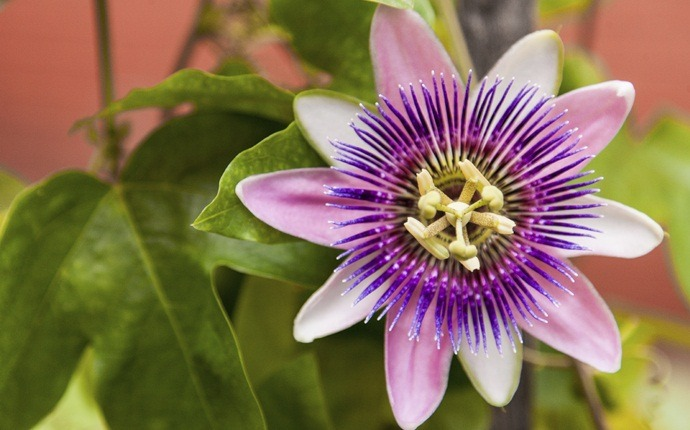 treatment for gynecomastia - passion flower